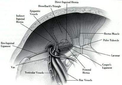 groin anatomy  pictures,
