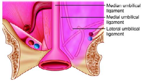 Diagrammatic representation of ligaments
