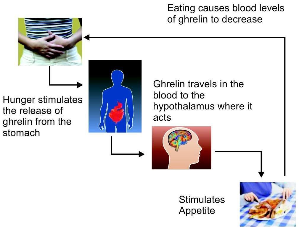 Mode of action of ghrelin